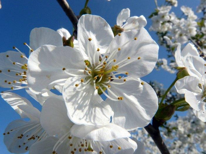 Fiori di bach: il Cherry Plum per calmare le crisi di pianto